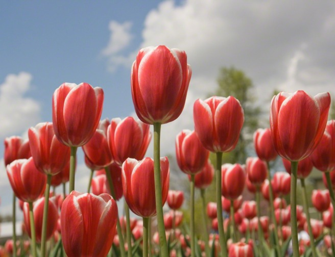 https://www.lds.org/media-library/images/red-tulips-760411?lang=eng