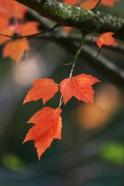 https://www.lds.org/media-library/images/maple-leaves-1251157?lang=eng