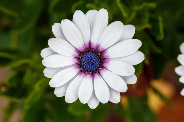 https://www.lds.org/media-library/images/white-cape-daisy-1276230?lang=eng