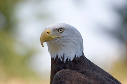 Bald eagle. Courtesy LDS Media Library.