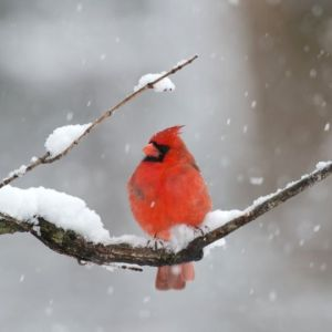 Cardinal on a snowy branch (Credit: Canva).